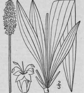 http://chestofbooks.com/flora-plants/flowers/Illustrated-Flora-3/images/3-Plantago-Lanceolata-L-Ribwort-Rib-Grass-English-571.jpg