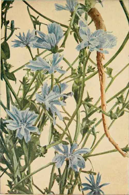 Chicory; Succory; Blue Sailors; Bunk (Cichorium Intybus) Chicory ...