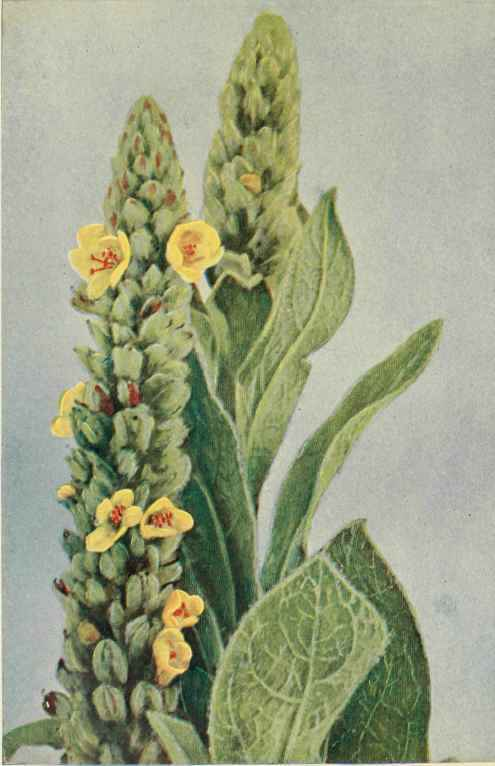 Natural remedies for our teeth  Great-Mullen-Or-Velvet-Dock-Verbascum-thapsus
