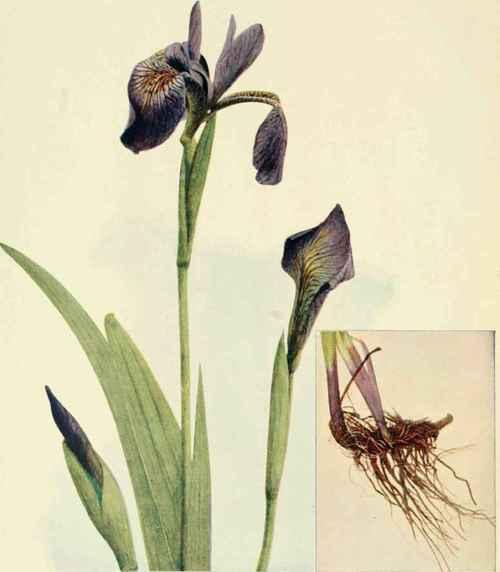Larger Blue Flag Blue Iris Fleur De Lis Flower De Luce