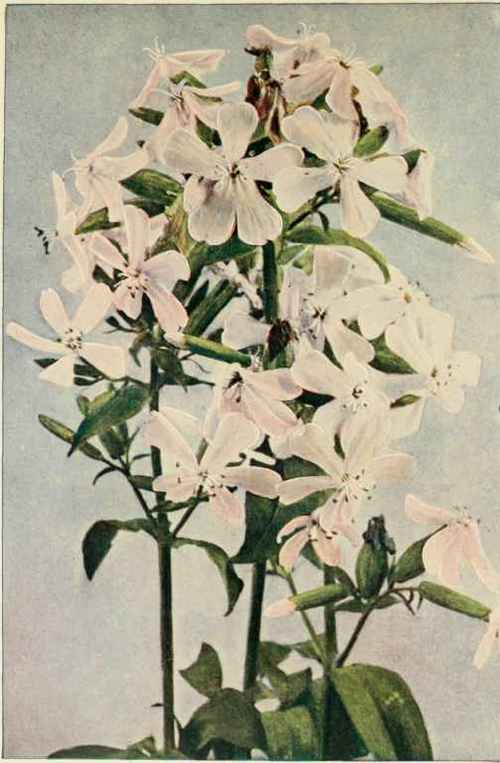 Soapwort; Bouncing Bet; Hedge Pink; Bruise-Wort; Old Maid's Pink ...