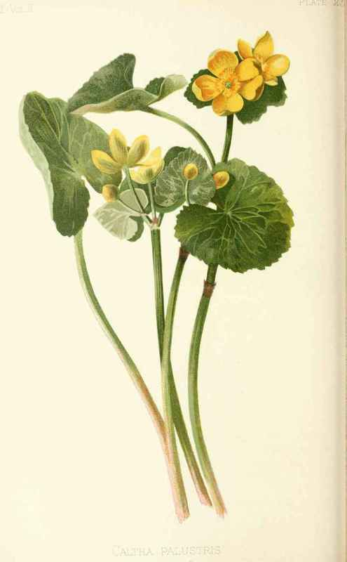 Marsh-Marigold. Caltha palustris, Linnaeus. Natural Order ...