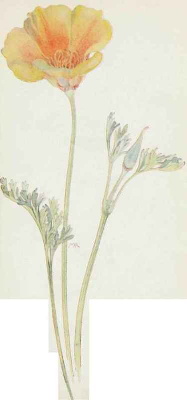 California poppy eschscholtzia californica yellow - Yellow poppy flower meaning ...