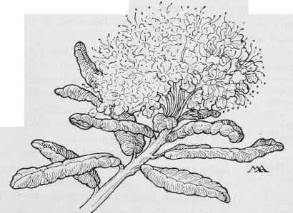 Labrador Tea Drawing Woolly Labrador Tea