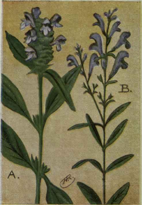 Self heal prunella vulgaris