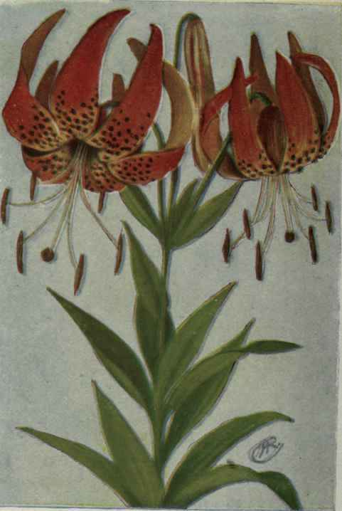 Cap lily 3
