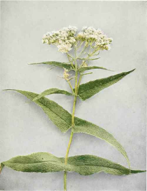 Common Thoroughwort; Boneset - Eupatorium Perfoliatum Linnaeus ...