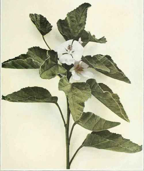 Mallow Family - Malvaceae - Marsh Mallow; Wymote - Althaea ...