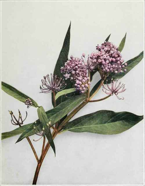 The Hairy Swamp Milkweed (Asc1epiaspu1chra Ehrhart) is similar to this