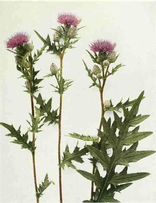 Tattoo Ideas, Botanical Prints, Nature Illustration, Thistles, Cirsium ...