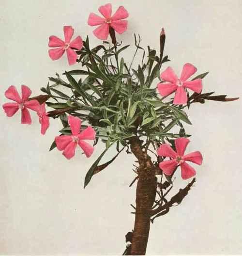 Dianthus - Wikipedia, the free encyclopedia