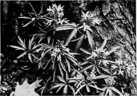 Toothwort crinkleroot pepper root