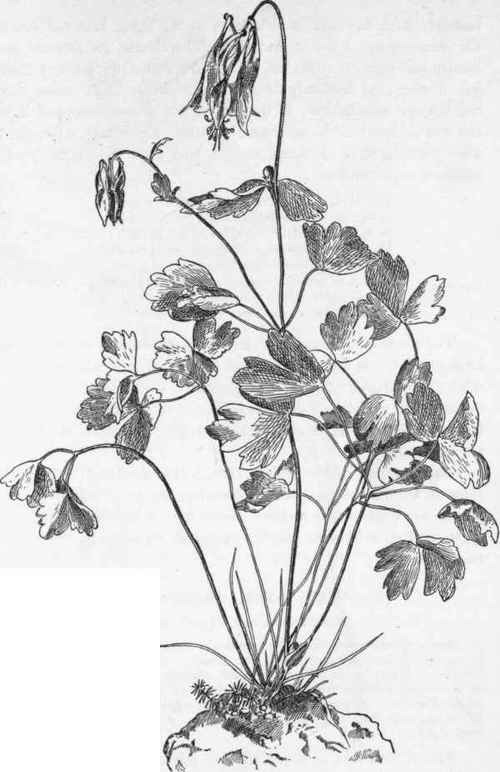 Columbine Flower Line Drawing : Wild columbine aquilegia canadensis crowfoot family
