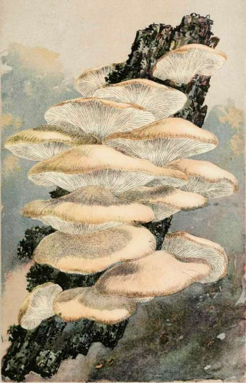 A Warning Tang. The Oyster Mushroom. Agaricus Ostreatus