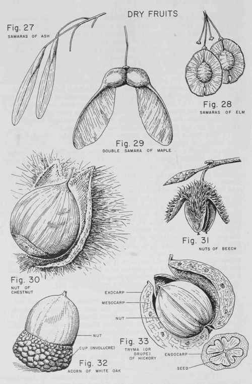 seed structure diagram pine product structure diagram #10