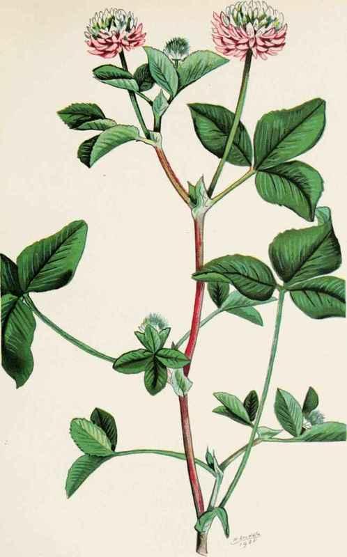 Trifolium hybridum - Wikipedia
