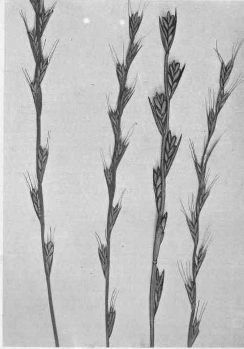 darnel grass