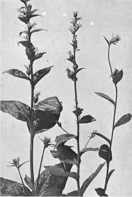 Lobelia Family Lobeliaceae Indian Tobacco Lobelia Inflata L