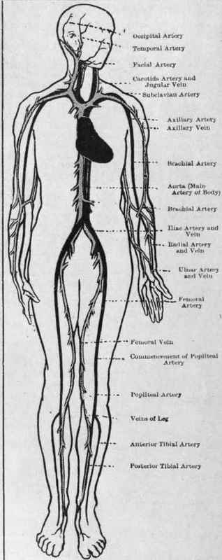 arteries and veins diagram. Chief arteries (dark) and