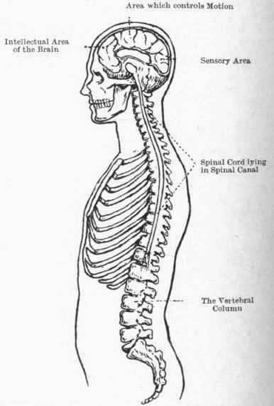 diagram of brain and spinal