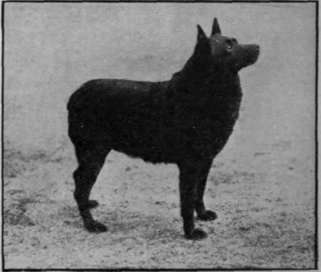 A typical Schipperke. showing the chief points of head and body formation desired by the breeder probable or assured, in the ring, and should be sought in accredited kennels