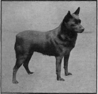Mrs. Crosfield s Schipperke Champion Esme of Greta, a famous prize'winner, and an excellent specimen of the breed