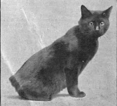 black Manx cat Kangaroo
