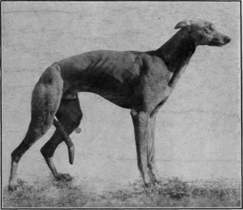 greyhound pupies for sale sobers
