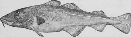 morue fish