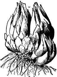 une nouvelle question d'un nouveau venu :-) Lily-bulb-showing-sections-for-division