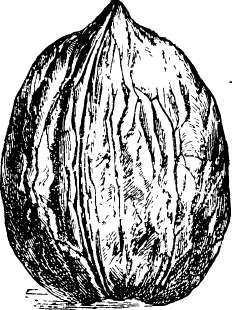 The walnut - Growing french walnuts for a profit ...