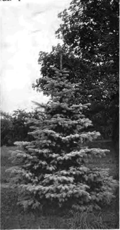 Decorative Blue Spruce : Flowering and ornamental trees continued