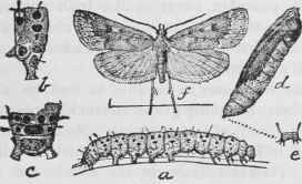 The Garden Web Worm Eurycreon Rantalis Guen Order 25