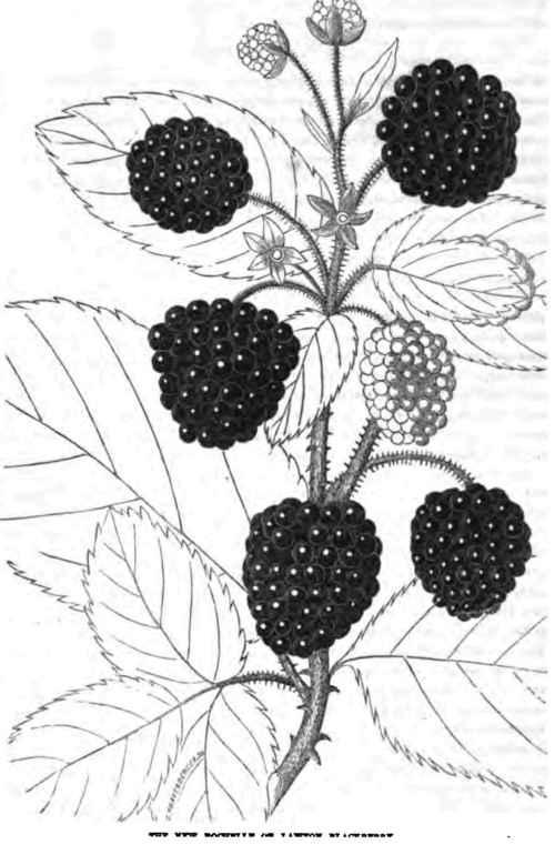 Lawton Blackberry 400129 Blackberry Fruit Drawing
