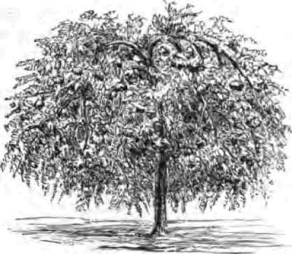 A mountain ash, the plant in which Potassium Sorbate was first discovered.