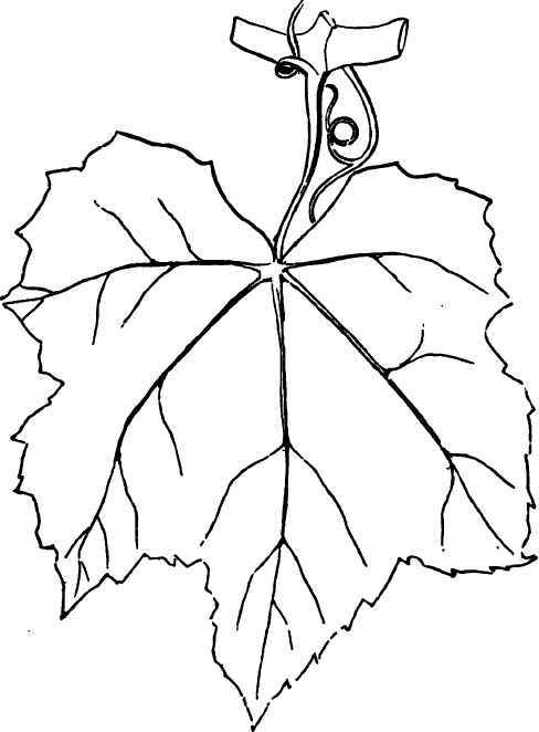 Leaf Of The Iona