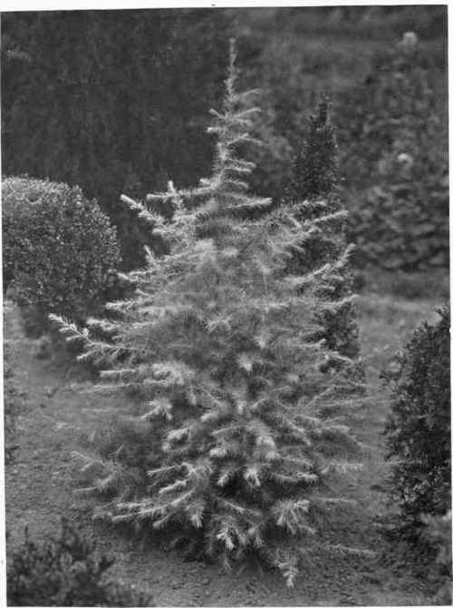 Ornamental planting of trees and shrubs part 5 for Specimen trees