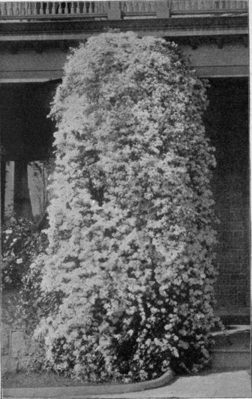 Clematis Paniculata Propagation Clematis Paniculata