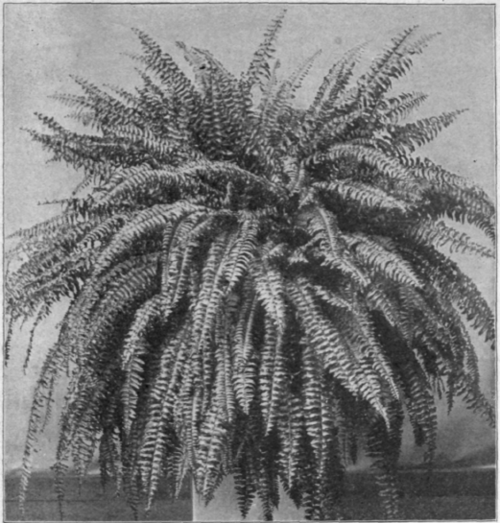 What is the classification of fern plant?
