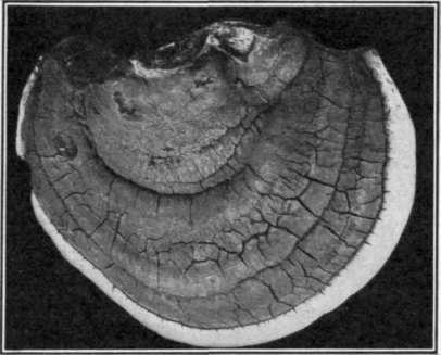 Fruiting body of the white Heart Rot pathogene.