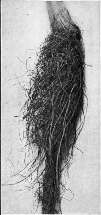 http://chestofbooks.com/gardening-horticulture/fruit/Manual-of-Fruit-Diseases/images/Fig-31-Hairy-root-of-apple.jpg