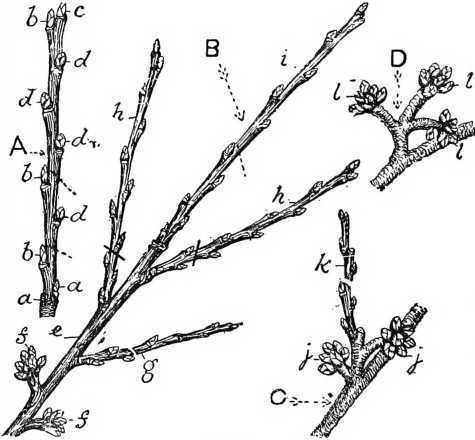 how to prune cherry trees