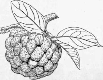 fig 25 the sugar apple annona squamosa a favorite fruit in