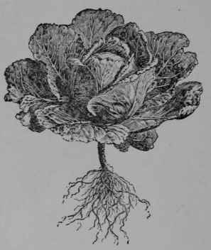 Cabbage plant diagram online schematic diagram cabbage plant diagram images gallery ccuart Image collections