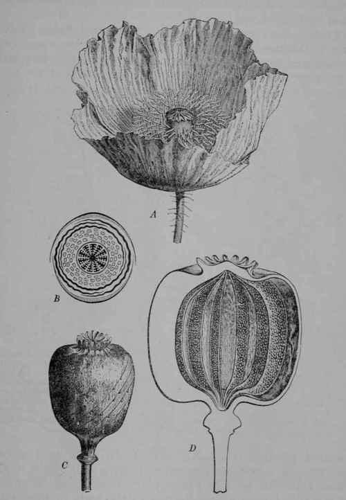 Opium - Poisonous Alkaloids