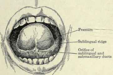 Membrane Securing The Tongue To The Floor Of The Mouth 62