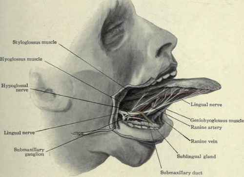 Membrane Securing The Tongue To The Floor Of The Mouth 118