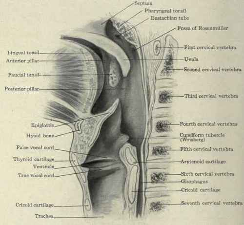 Action of Intrinsic Muscles of Larynx |Larynx Anatomy Netter