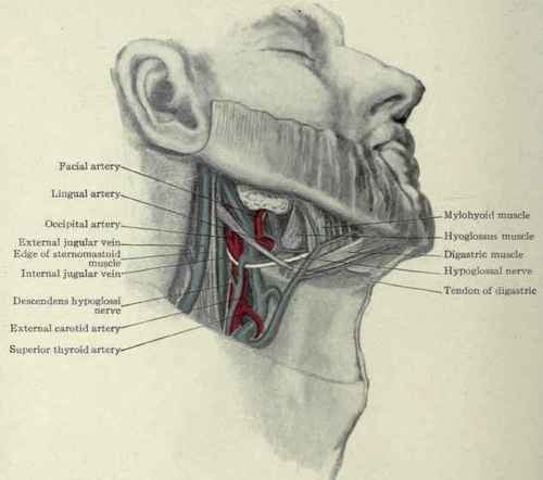 Anatomy neck glands