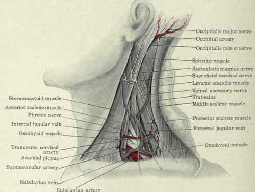 arteries and veins of neck. The deep fascia of the neck